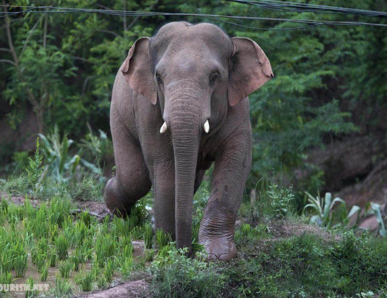 ช้าง 500 กม. ทั่วประเทศจีน